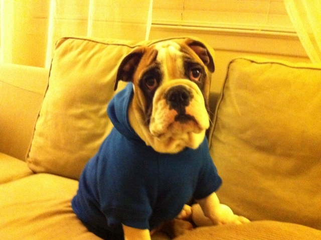what it's really like to own an english bulldog – thirty-something woman